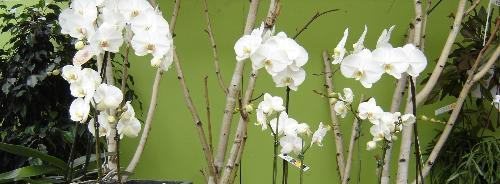 Sfeerfoto orchidee Bloemisterij Boelens Bassevelde