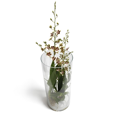Oncidium Orchid In Glass Pot Delivered In Holland Regiobloemist