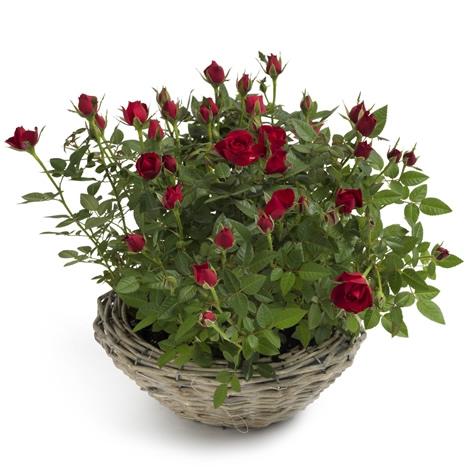 kleine rote rosen kleine rote rosen bestellen und. Black Bedroom Furniture Sets. Home Design Ideas