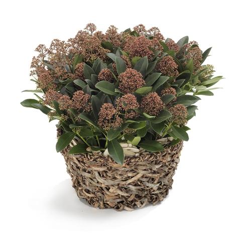 skimmia japonica skimmia japonica bestellen und liefern ber regionsflorist. Black Bedroom Furniture Sets. Home Design Ideas