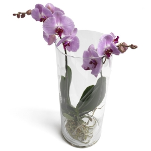 Trendy tower Phalaenopsis Orchids