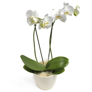 Most popular white phalaenopsis orchid