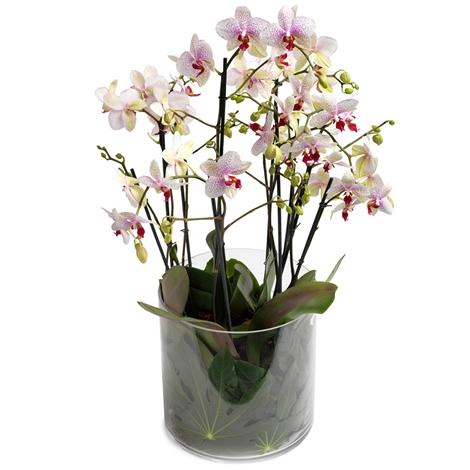prachtvolle zwielichtige orchidee prachtvolle zwielichtige orchidee bestellen und liefern. Black Bedroom Furniture Sets. Home Design Ideas