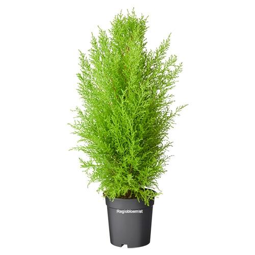 Cupressus plant