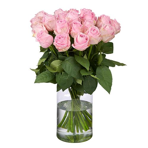 20 Rosa Rosen (50 cm Premium)