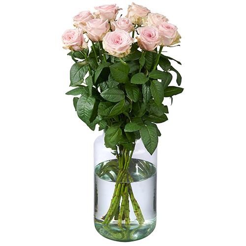 10 Rosa Rosen Premium