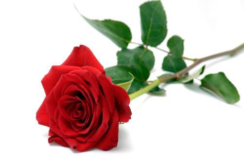 1 rose rouge 1 rose rouge commander et livrer par for Commander rose